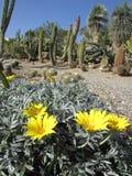 黄色仙人掌开花(帕路玛公园, Benalmadena,西班牙) 免版税库存图片