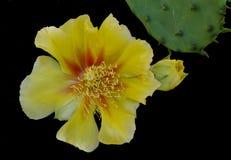 黄色仙人掌花 库存图片