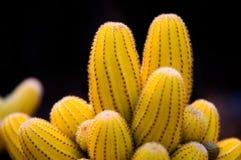 黄色仙人掌 免版税图库摄影