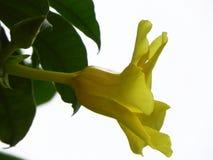黄色黄水仙关闭 图库摄影