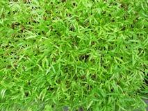 绿色年轻向日葵新芽 免版税库存图片