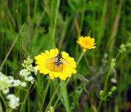 黄色延命菊花和飞行 库存照片