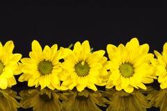 黄色延命菊花在黑背景的 库存照片