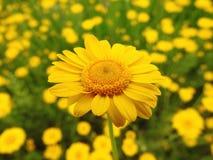 黄色延命菊花 库存图片