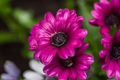 紫色延命菊雏菊用雨水在春天填装了 库存图片
