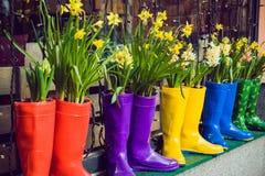 黄色黄水仙和风信花在作为罐使用的多彩多姿的胶靴装饰店面窗口 选择聚焦 库存照片