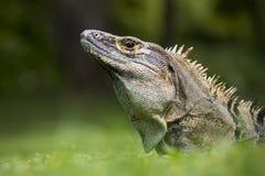 黑色从哥斯达黎加的多刺被盯梢的鬣鳞蜥 图库摄影