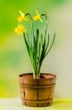 黄色水仙在一个棕色土气(葡萄酒)罐,关闭开花 库存图片