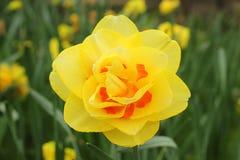 黄色水仙在庭院里 免版税库存图片