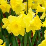 黄色黄水仙在春天庭院 免版税库存照片