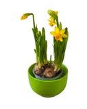 黄色黄水仙在白色背景隔绝的罐开花 免版税库存图片