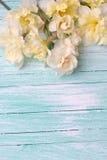 黄色水仙在绿松石被绘的木板条开花 免版税库存照片