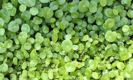绿色满地露水的叶子背景 库存图片