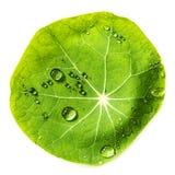 绿色满地露水的叶子 免版税库存图片