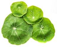 绿色满地露水的叶子 免版税图库摄影