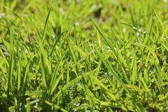 绿色水多的草 库存图片