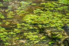 绿色水多的waterplants挥动在水面下在一条小小河 免版税库存图片