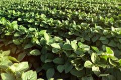 绿色年轻大豆领域 库存照片