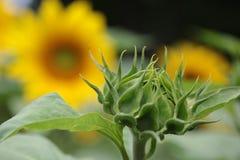 绿色婴孩向日葵 库存图片