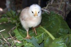 黄色婴孩小鸡 库存图片