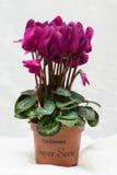 紫色仙客来绽放和绿色叶子 开花的淡紫色花 紫罗兰色开花和罐 奶油被装载的饼干 库存图片