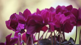 紫色仙客来