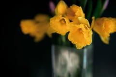 黄色黄水仙开花与开花在有绿色墙壁的花瓶的紫色郁金香 库存照片