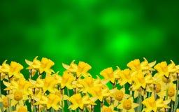 黄色水仙开花,关闭,绿色染黄degradee背景 知道作为黄水仙, daffadowndilly,水仙和jonquil 免版税库存图片