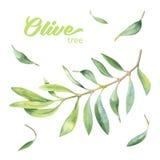 绿色水彩橄榄树枝 图库摄影