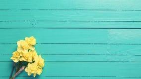 黄色水仙或黄水仙在绿松石木backgro开花 免版税图库摄影