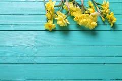 黄色水仙或黄水仙在绿松石木backgro开花 库存照片