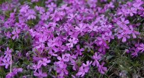 紫色绽放 免版税图库摄影