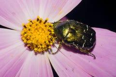 绿色5月甲虫吃黄色花粉,坐与紫色瓣的一朵花 宏指令 免版税图库摄影