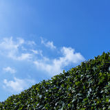 绿色黄杨属灌木 库存照片