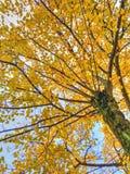 黄色结构树在秋天 免版税图库摄影