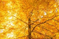 黄色结构树 免版税库存照片