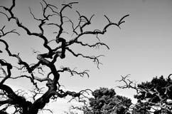 黑色结构树 免版税库存照片