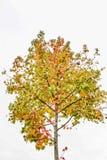 黄色结构树 库存照片
