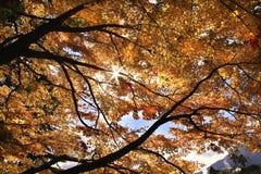 黄色结构树 免版税库存图片