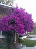 紫色结构树 免版税库存图片