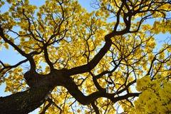 黄色结构树 库存图片