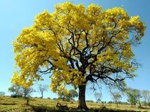 黄色结构树 & x28; Handroanthus albus& x29; 库存照片