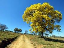 黄色结构树 & x28; Handroanthus albus& x29; 免版税库存图片