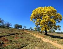 黄色结构树 & x28; Handroanthus albus& x29; 免版税库存照片