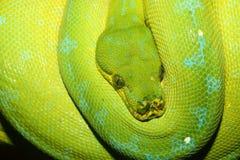 绿色结构树Python 库存照片