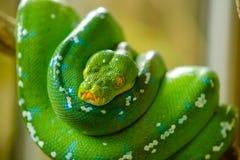 绿色结构树Python 免版税库存图片