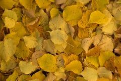 黄色椴树离开背景 免版税库存照片