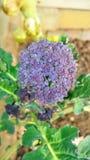 紫色洋椰菜花 库存照片