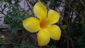 黄色贝母 库存图片