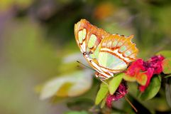 绿色绿沸铜蝴蝶(下面) 免版税库存图片